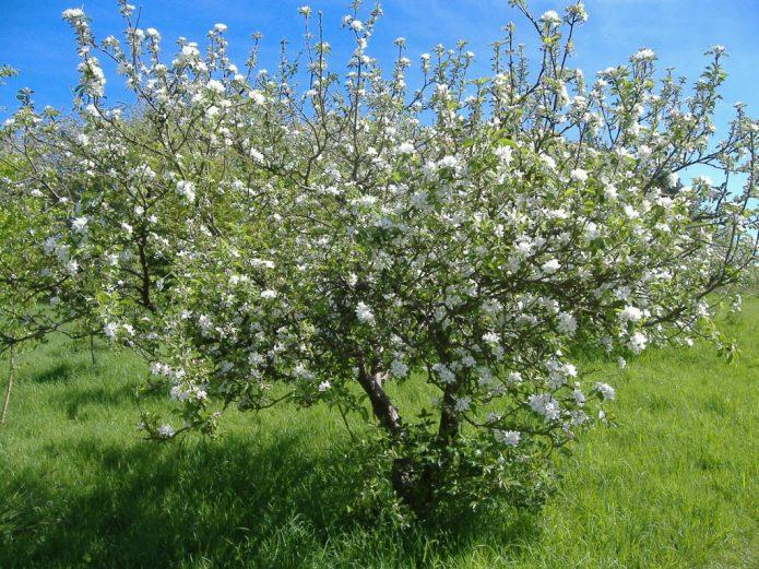 Кустовидная вишня