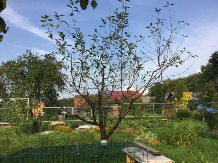 Дерево вишни Владимирская