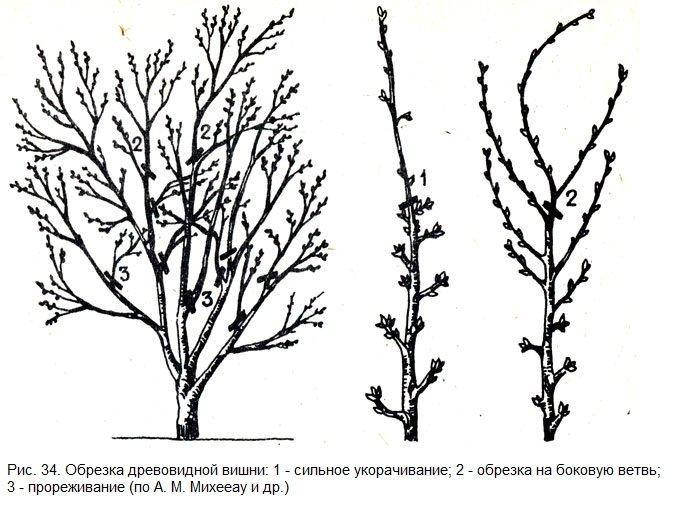 Схема обрезки древовидной вишни