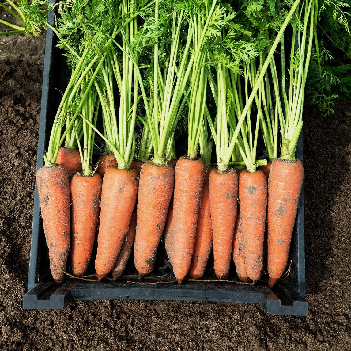 корнеплода моркови картинки надеюсь