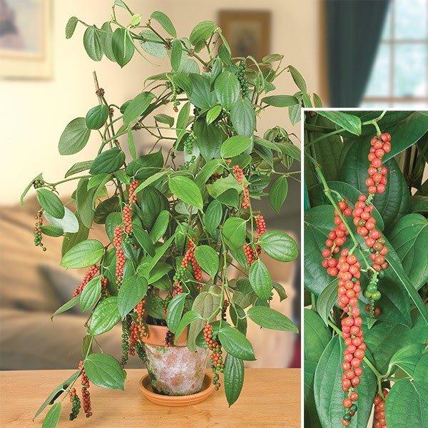 Выращивание чёрного перца в домашних условиях