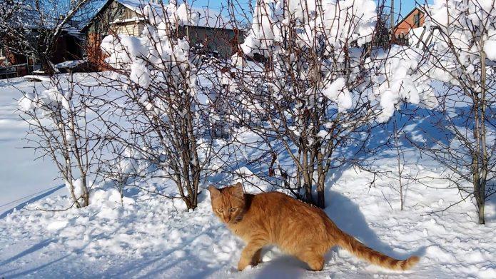 изгородь из боярышника зимой