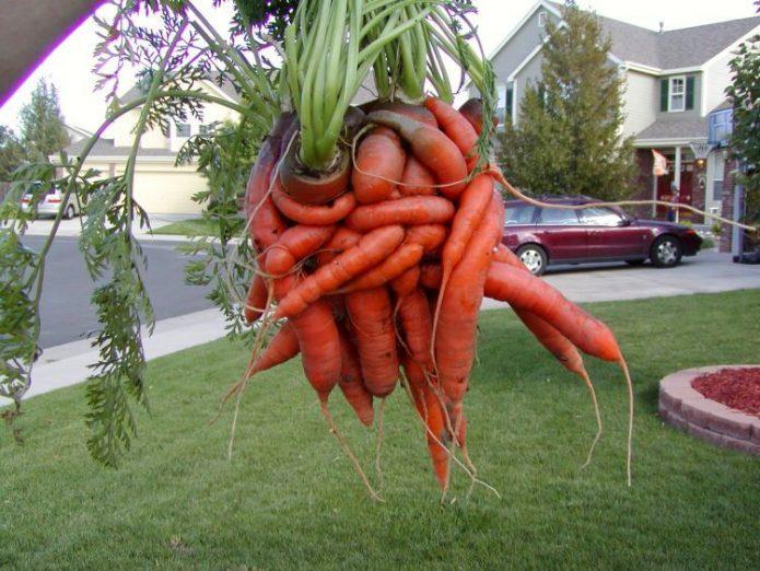 Морковки обнимаются