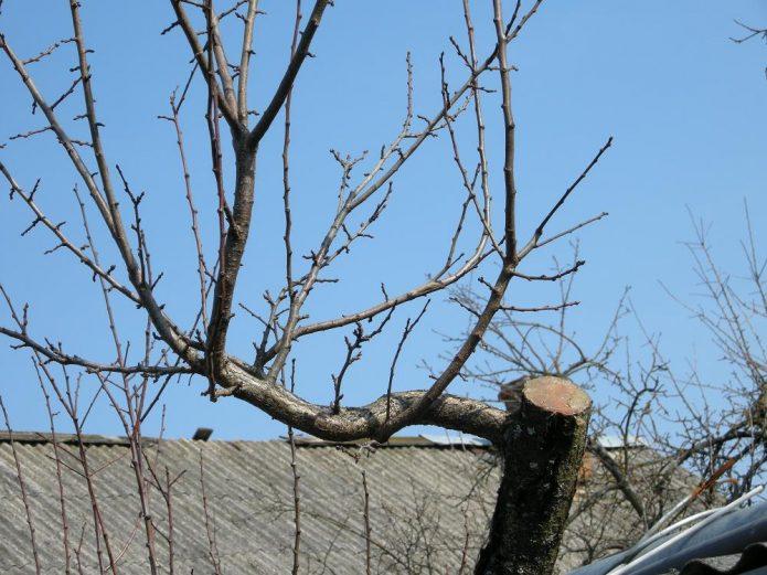 Обрезка подмёрзшего дерева