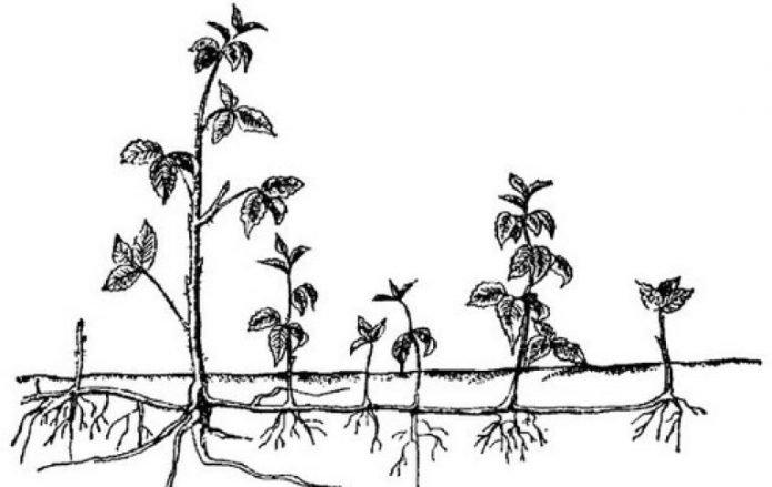 Размножение прямостоящей ежевики