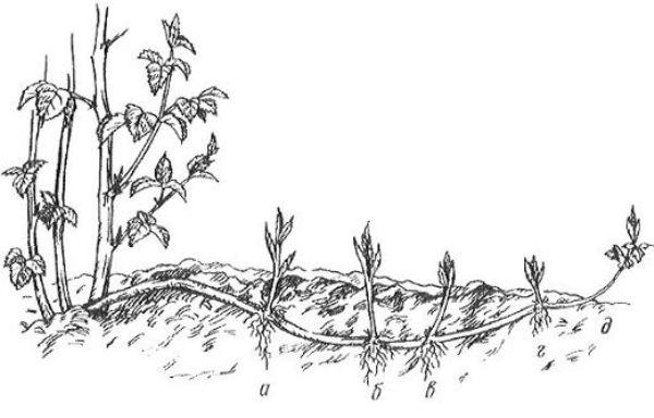 Размножение стелющейся ежевики