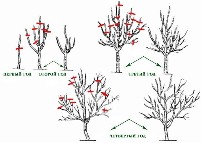 Схема прироста ветвей яблони по годам