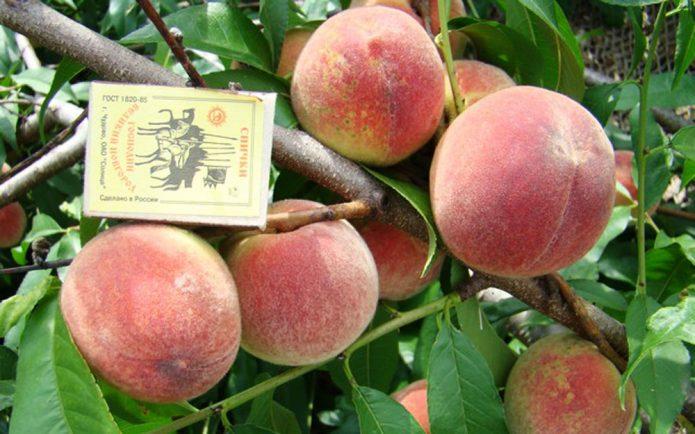 Плоды персика Гринсборо