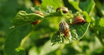 Колорадский жук на кусте картофеля