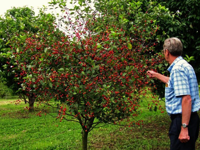 Размножение вишни черенками, корневой порослью, при помощи косточек- советы и рекомендации. Как размножить вишню летом черенками, особенности выращивания и ухода за саженцами в домашних условиях