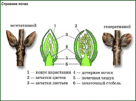 Строение вегетативных и генеративных почек