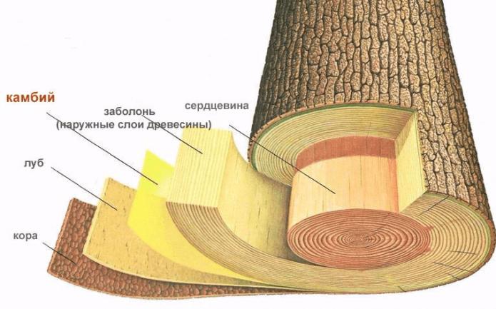 Слои ствола дерева