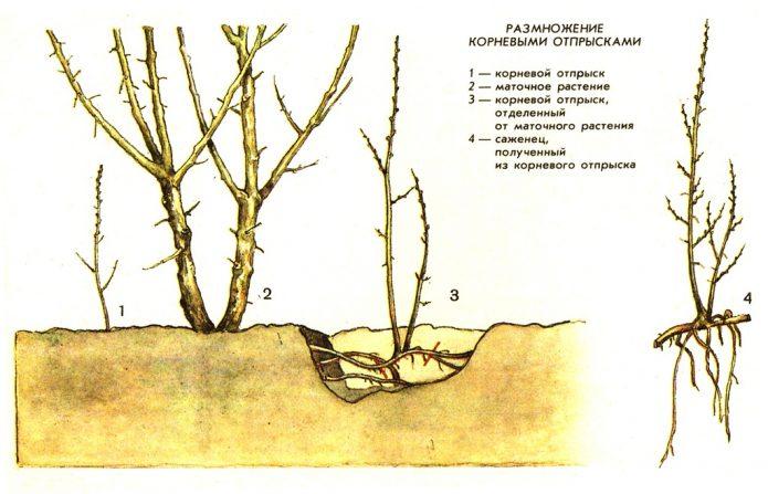 Размножение плодового дерева корневой порослью