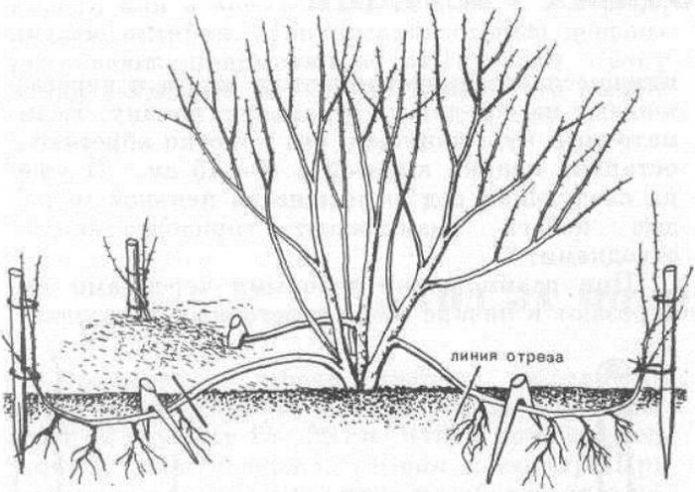 Размножение вишни отводками