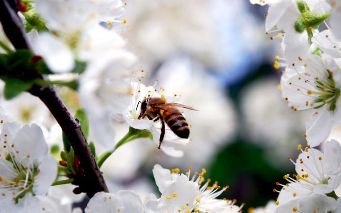 Пчела на вишне