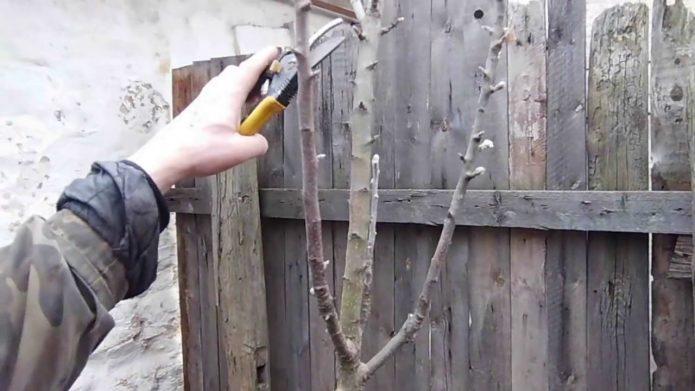Формирование кроны молодой вишни