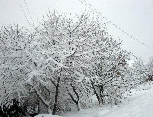Вишнёвый сад под снегом