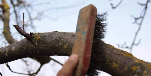 Очистка коры вишни
