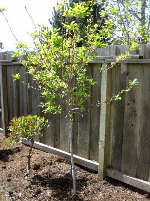 Сливовое дерево сорта Богатырская