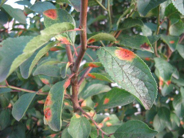 Листья сливы, поражённые заболеванием