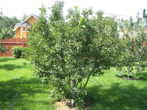 Дерево вишни с обратнопирамидальной кроной