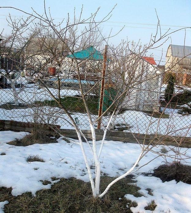 Дерево вишни Норд Стар