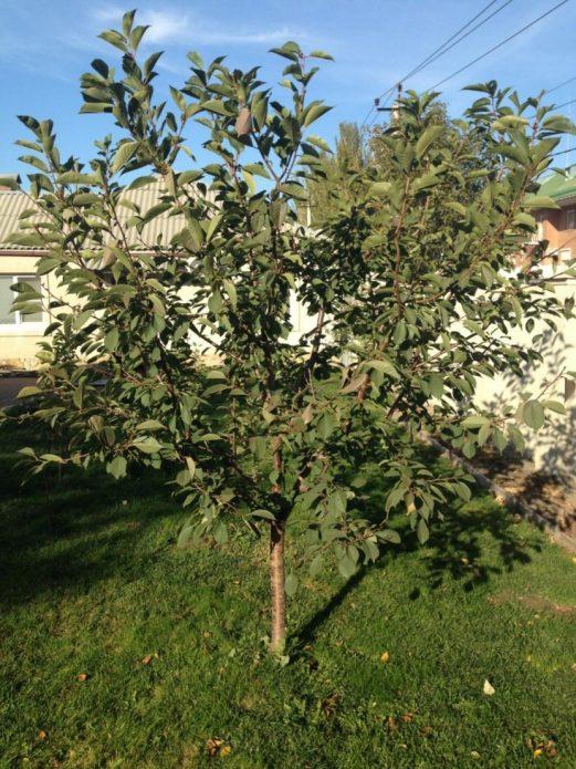 Низкорослое дерево вишни