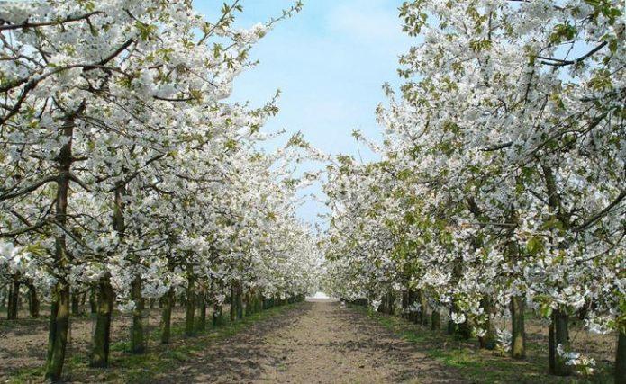 Цветущие деревья вишни