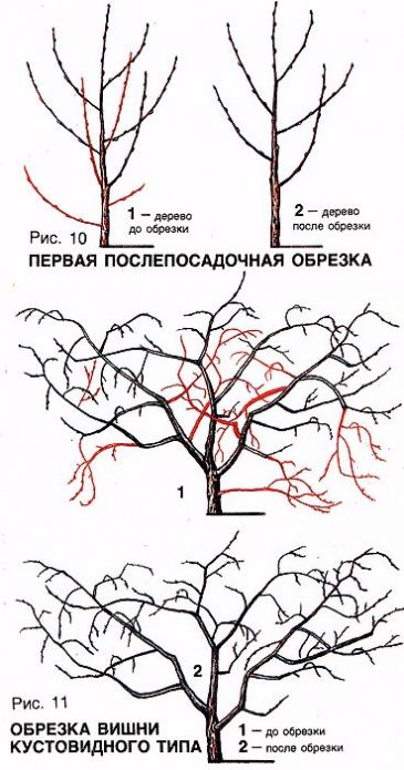 Кустовидная формировка вишни