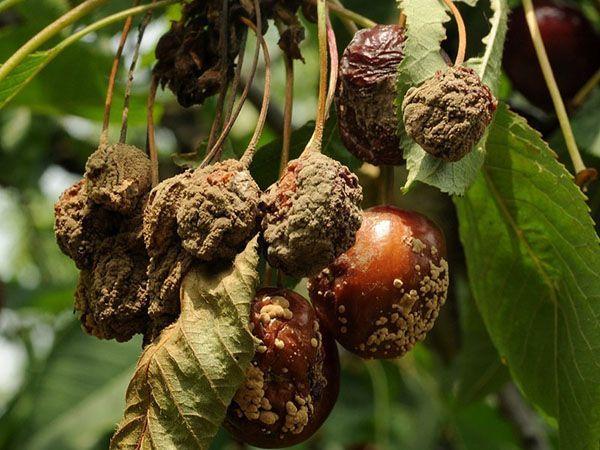 Монилиоз на плодах вишни