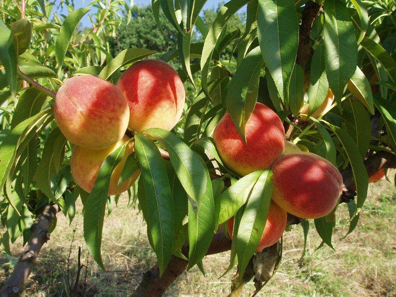 Персик белоснежка описание. Кому не страшны морозы