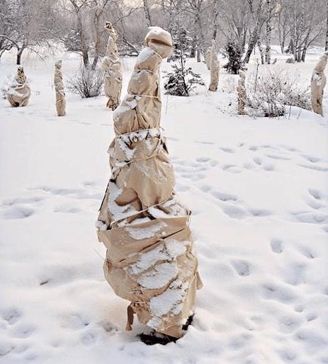 Укрытый на зиму саженец