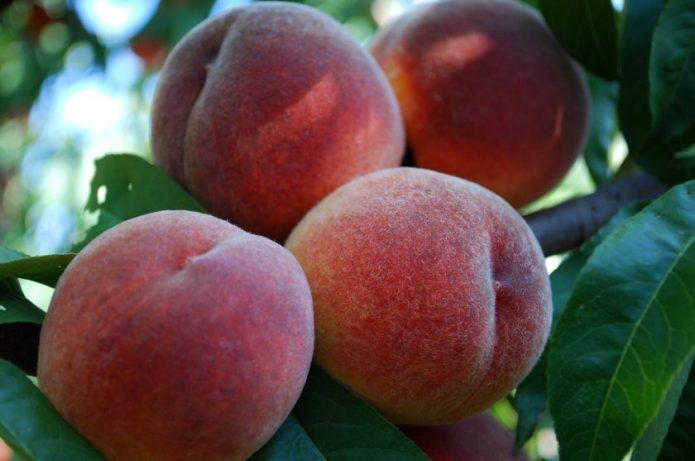 Плоды персика Сочный