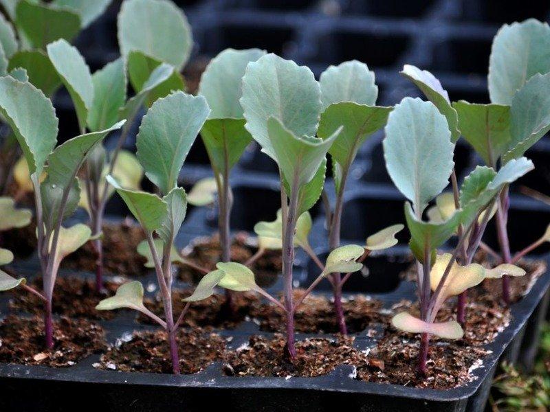 Когда сажать капусту брокколи на рассаду в 2019 году по лунному календарю