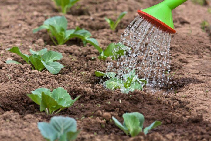 Уход за капустными грядками