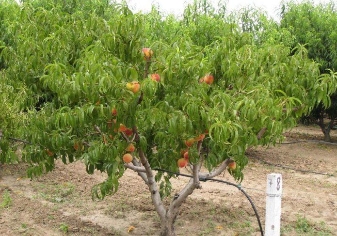 Персик на садовом участке