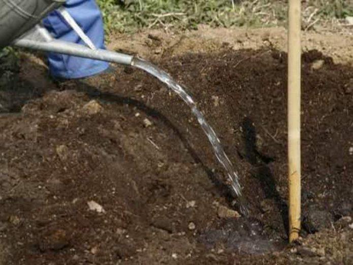 Полив почвы перед высадкой