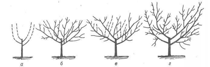 Схема формирования чашевидной кроны