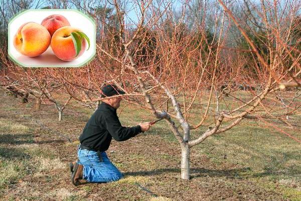 Процедура обрезки персика