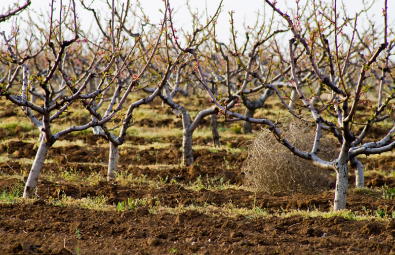 Персиковый сад после обрезки