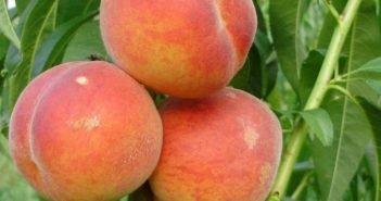 Колоновидный персик