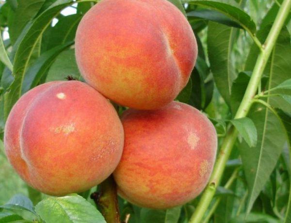 Колонновидный персик— миф или реальность?