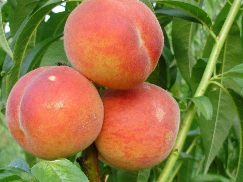 Колоновидный персик: описание сортов, обрезка, посадка и уход с фото