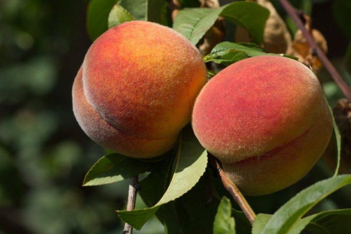 Колонновидный персик Тотем садовода