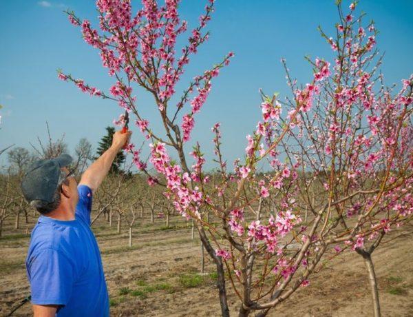 Когда в мечтах персиковый сад: как ухаживать за персиками весной