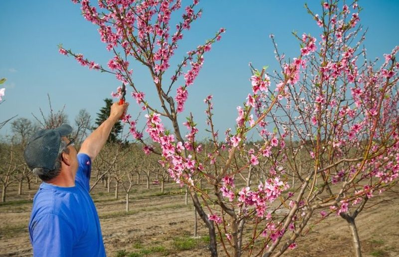Уход за персиками весной