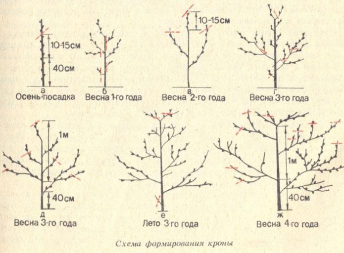 Схема обрезки саженца персика