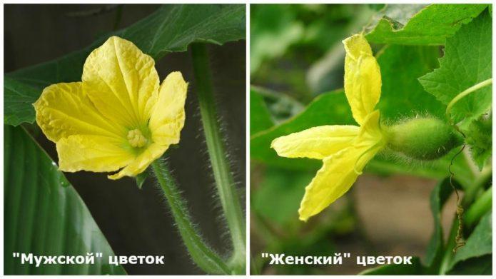 Цветки огурца