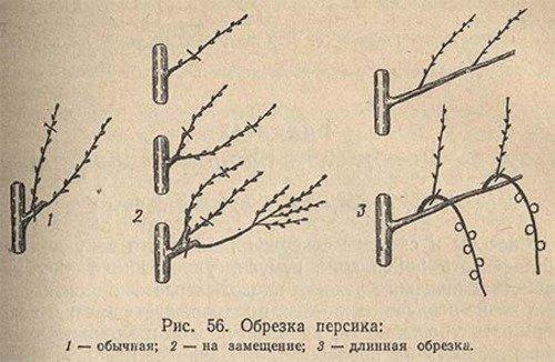 Схема обрезки персикового дерева