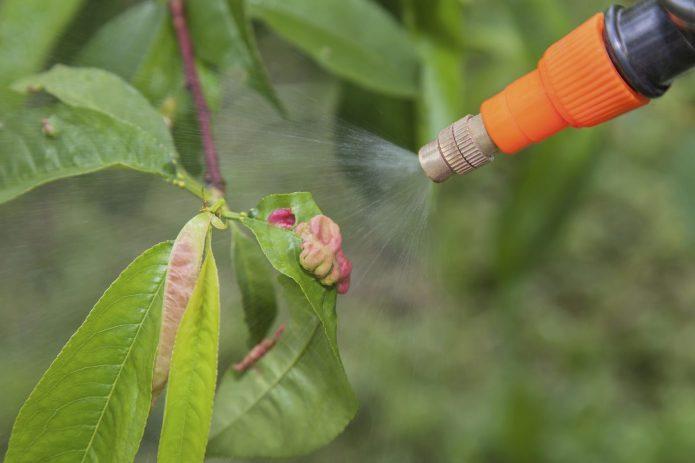 Курчавость на персиках